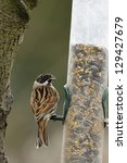Male Reed Bunting On Feeder  ...