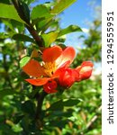 beautiful orange flowers of... | Shutterstock . vector #1294555951
