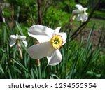 beautiful white narcissus... | Shutterstock . vector #1294555954