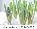 blue grapes hyacinth.beautifull ...   Shutterstock . vector #1294636237