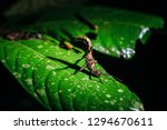 stick insect in tabin wildlife... | Shutterstock . vector #1294670611