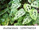 monstera adansonii or swiss... | Shutterstock . vector #1294746514