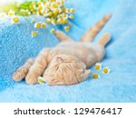 Stock photo little cream cat sleeping near chamomile 129476417