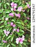 garlic vine violet flower... | Shutterstock . vector #1294791547