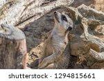 suricata standing and looking...   Shutterstock . vector #1294815661