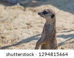 suricata standing and watching...   Shutterstock . vector #1294815664