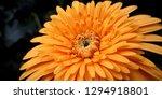 detail of yellow gerbera... | Shutterstock . vector #1294918801