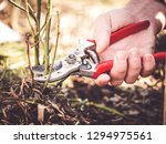Small photo of gardener shows how to prune rose shrubs using a pruning shear close to the soil