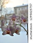 orchid flowers in winter.   Shutterstock . vector #1295025757
