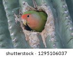 Rosy Faced Lovebird In A Nest...