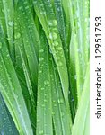 green grass covered with dew   Shutterstock . vector #12951793