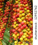 Small photo of Colorful Fruits of the Christmas Palm -- this tree is also called Manila Palm or in Latin Adonidia Merrillii