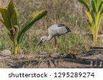 asian openbill scientific name  ...   Shutterstock . vector #1295289274