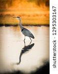 heron bird walking in a pond   Shutterstock . vector #1295303167