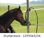 young horses drink in the...   Shutterstock . vector #1295465134