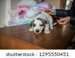 cute spotted puppy lying on the ... | Shutterstock . vector #1295550451