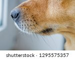 close up of a dog's snout... | Shutterstock . vector #1295575357