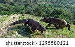 Walk Of Komodo Dragon....