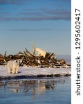 Small photo of Two Polar bears at the whale bone pile on Barter Island with reflections in Kaktovik Lagoon Alaska