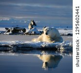 Small photo of Male polar bear lying on Barter Island with reflection in Kaktovik Lagoon Alaska and whale bones and mountains
