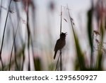 a silhouette of a great reed... | Shutterstock . vector #1295650927