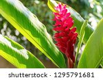 beautiful blossom red ginger... | Shutterstock . vector #1295791681