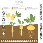 turnip beneficial features... | Shutterstock .eps vector #1295885821