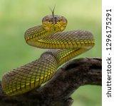 Small photo of Manggrove Pit Viper (Trimeresurus purpureomaculatus), Viper Snake, Venomous Snake, Venom