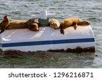 california sea lions sun...   Shutterstock . vector #1296216871
