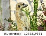 portrait of a cute meerkat or...   Shutterstock . vector #1296319981