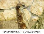portrait of a cute meerkat or...   Shutterstock . vector #1296319984