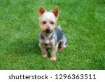 Adorable Australian Silky Terrier posing on fresh mowed lawn in summer day. Dog sitting on fresh cut grass waiting for the command.  - stock photo
