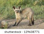 a single bat eared fox in the... | Shutterstock . vector #129638771