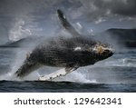 humpback whale  megaptera... | Shutterstock . vector #129642341