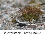 Small photo of Dunlin (Calidris alpina), a medium sized sandpiper and shorebird standing sidewise with plants in the background