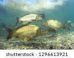 Freshwater Fish Carp  Cyprinus...
