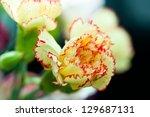 Dianthus Flowers  Carnation...