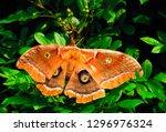 polyphemus moth  antheraea...   Shutterstock . vector #1296976324