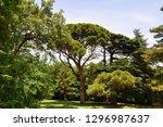 italian pine in the park....   Shutterstock . vector #1296987637