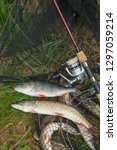 freshwater perch and northern... | Shutterstock . vector #1297059214
