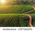 green tea plantations... | Shutterstock . vector #1297186291