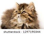 beautiful persian kitten cat... | Shutterstock . vector #1297190344