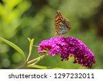 butterfly feeding on buddleia... | Shutterstock . vector #1297232011