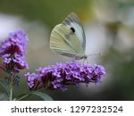 butterfly feeding on buddleia... | Shutterstock . vector #1297232524