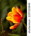 orange tulip blooming in the... | Shutterstock . vector #1297233844