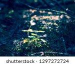 delicate flower of wood sorrel  ... | Shutterstock . vector #1297272724