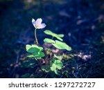 delicate flower of wood sorrel  ... | Shutterstock . vector #1297272727