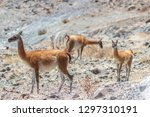 typical fauna from the chilean... | Shutterstock . vector #1297310191