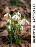 white fresh snowdrops bloom in... | Shutterstock . vector #1297406164