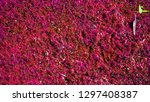 Red Purple Texture Azolla And...